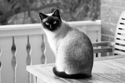 Photograph - Siamese Cat by Jesse Watrous