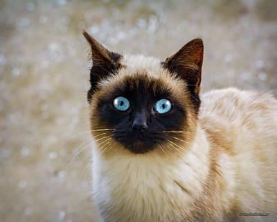 Photograph - Siamese Cat  by LeeAnn McLaneGoetz McLaneGoetzStudioLLCcom
