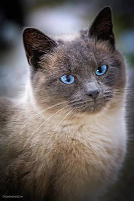 Photograph - Siamese Kitty by LeeAnn McLaneGoetz McLaneGoetzStudioLLCcom