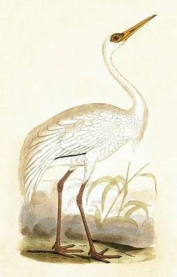 Crane Painting - Siberian Crane by English School