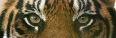 Photograph - Siberian Eyes - Tiger by David Dunham