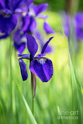 Photograph - Siberian Flag Iris Caesars Brother by Tim Gainey