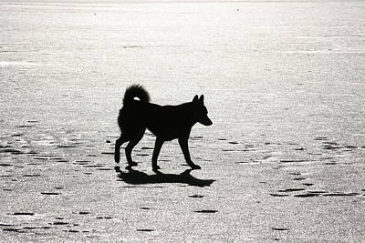 Photograph - Siberian Husky 6 by David Dunham