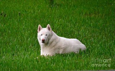 Photograph - Siberian Husky by Carol  Bradley