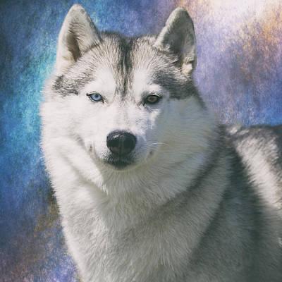 Siberian Husky Portrait Art Print by Wolf Shadow  Photography