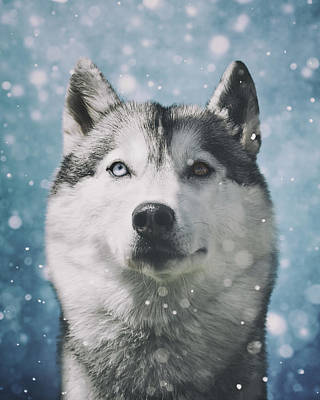 Siberian Husky With Snowflakes Print by Wolf Shadow  Photography