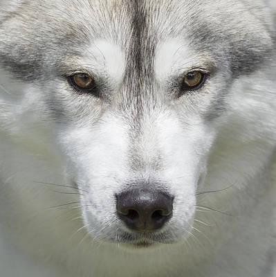Siberian Husky Portrait 1 Art Print by Wolf Shadow  Photography