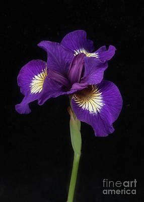 Photograph - Siberian Iris by Ann Jacobson