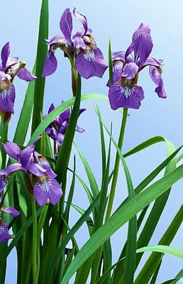 Siberian Iris Photograph - Siberian Iris by Kristin Elmquist