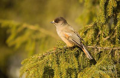 Photograph - Siberian Jay Perisoreus Infaustus by Gabor Pozsgai