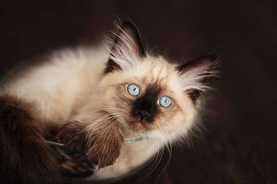 Photograph - Siberian Kitten Curled Up In Bowl by Yana Shonbina