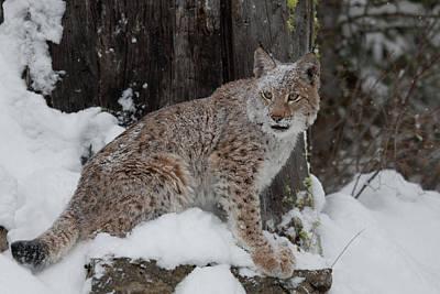 Photograph - Siberian Lynx Kitten 7526 by Teresa Wilson