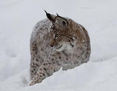 Photograph - Siberian Lynx Kitten 7561 by Teresa Wilson