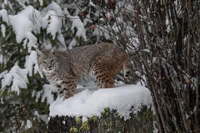 Photograph - Siberian Lynx Kitten 7590 by Teresa Wilson