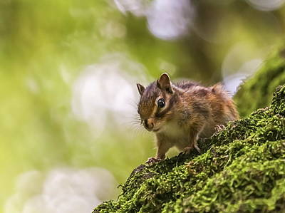 Photograph - Siberian Or Common Chipmunk Squirrel, Eutamias Sibiricus by Elenarts - Elena Duvernay photo