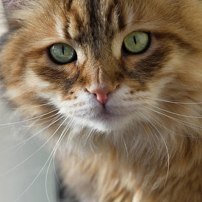 Golden Eye Cat Photograph - Siberian Stare 2 by John Janicki