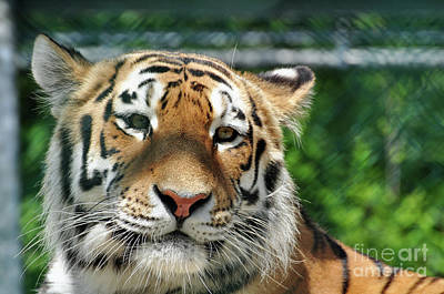 Photograph - Siberian Tiger 3 by Glenn Gordon