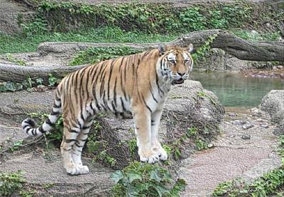Photograph - Siberian Tiger by Kathie Chicoine