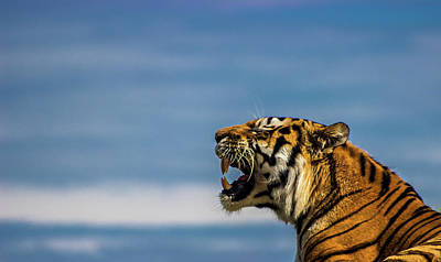 Roar Photograph - Siberian Tiger by Martin Newman