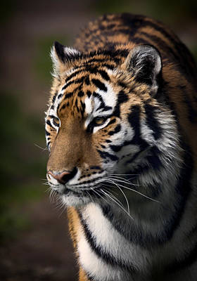 Photograph - Siberian Tiger by Randy Hall