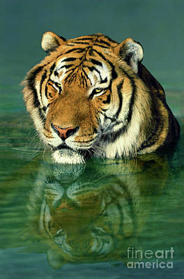 Photograph - Siberian Tiger Reflection Wildlife Rescue by Dave Welling