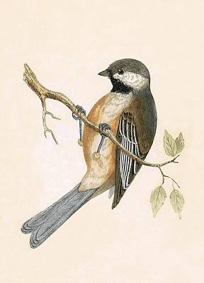 Tits Drawing - Siberian Tit by English School