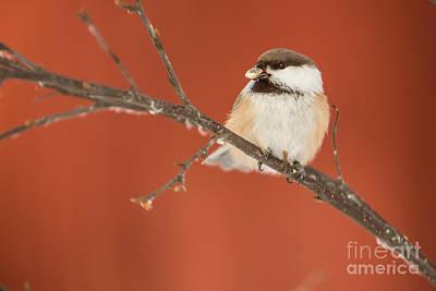 Photograph - Siberian Tit Parus Cinctus by Gabor Pozsgai