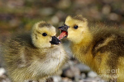 Photograph - Sibling Love - Baby Canada Geese by Sue Harper