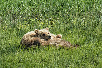 Photograph - Siblings Make Good Pillows - Bear Cubs 1 by Belinda Greb