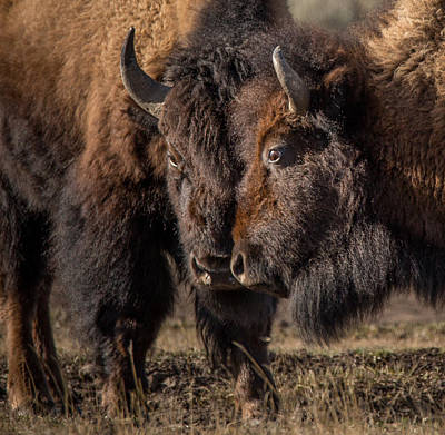 Bison Photograph - Siblings // Lamar Valley, Yellowstone National Park by Nicholas Parker