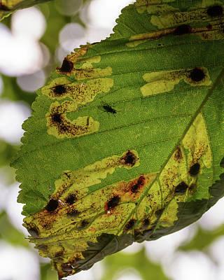Photograph - Sick Chestnut Leaf In Autumn by Jacek Wojnarowski