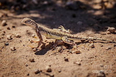 Photograph - Side-blotched Lizard  by Robert Bales