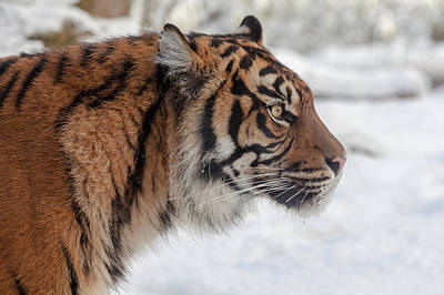 Tiger Photograph - Side Portrait Of A Sumatran Tiger In The Snow by Tim Abeln
