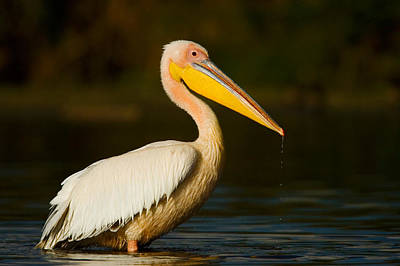 Side Profile Of A Great White Pelican Art Print
