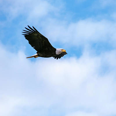 Photograph - Side Profile Of American Bald Eagle Flying With Wings Spread by Open Range
