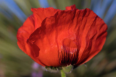 Photograph - Side View Of Big Red Poppy Flower by Barbara Rogers Nature Inspired Art Photography