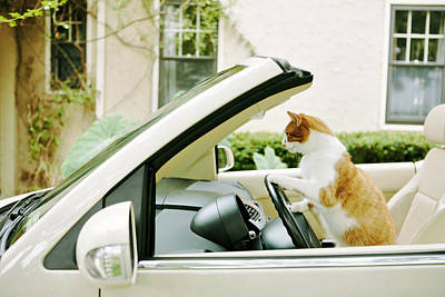 Tabby Cat Photograph - Side View Of Cat Driving Car by Gillham Studios