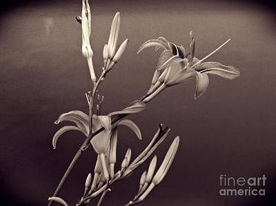 Lilies Royalty-Free and Rights-Managed Images - Sidewalk Lilies Sepia     by Sarah Loft