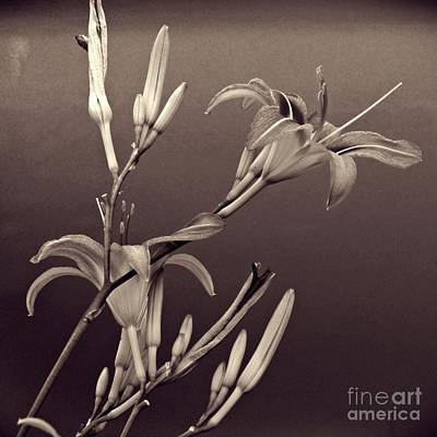 Lilies Royalty-Free and Rights-Managed Images - Sidewalk Lilies Sepia Square Format  by Sarah Loft