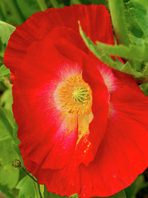 Photograph - Sideways Icelandic Poppy by Jean Noren
