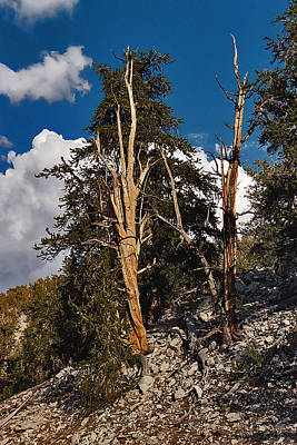 Print featuring the painting Sierra Cedar by Larry Darnell
