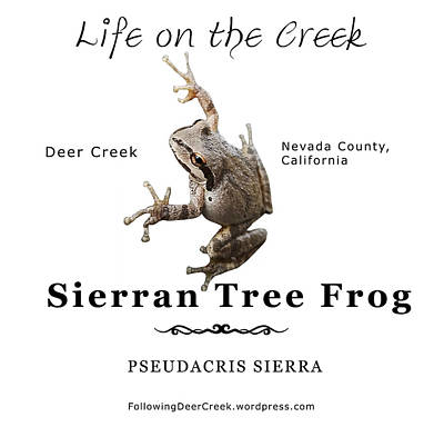 Digital Art - Sierran Tree Frog - Photo Frog, Black Text by Lisa Redfern