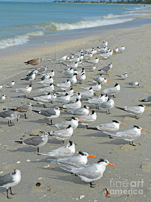 Digital Art - Siesta Key Shore Birds by Eva Kaufman