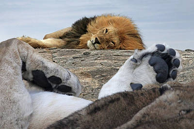 Photograph - Siesta Time For Lions In Africa by Gill Billington