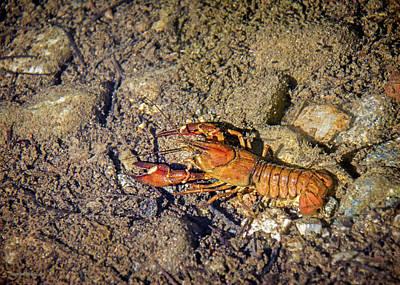 Photograph - Signal Crayfish Taylor Creek Lake Tahoe by LeeAnn McLaneGoetz McLaneGoetzStudioLLCcom