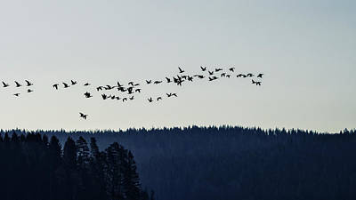 Photograph - Signs Of Spring - Migrating Geese by Ismo Raisanen