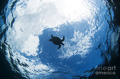 Green Sea Turtle Photograph - Sihouette Sea Turtle by Dave Fleetham - Printscapes
