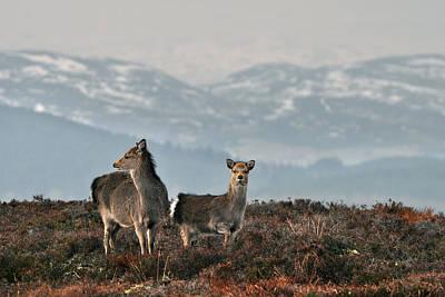 Photograph - Sika Deer by Gavin Macrae