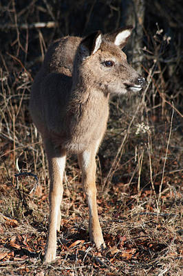 Maryland Photograph - Sika Deer On Assateague by Benjamin DeHaven