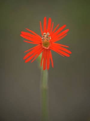 Photograph - Silene Laciniata - Indian Pink by Alexander Kunz